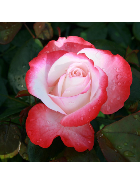 ROSEN TANTAU Edelrose, Rosa x hybride »Nostalgie«, Blüte: zweifarbig, gefüllt