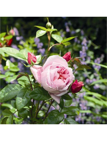 ROSEN TANTAU Edelrose, Rosa x hybride »Schöne Maid«, Blüte: rosa, gefüllt