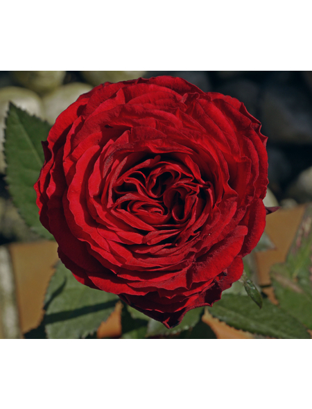 Edelrose »Traviata  ®«, Rosa, Blüte: rot