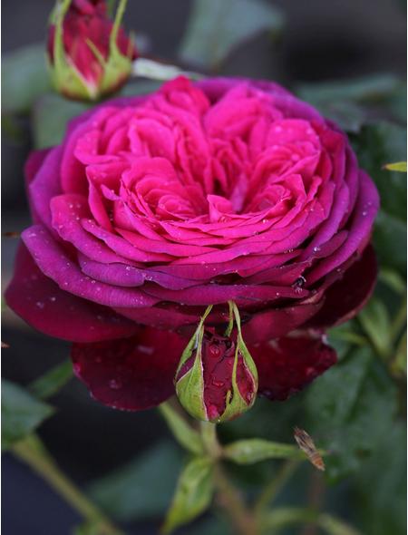 Edelrose »Wolfgang von Goethe ®«, Rosa, Blüte: pink