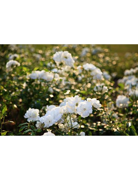 GARTENKRONE Edelrosen »In Sorten«, Rosa, Blüte: bunt