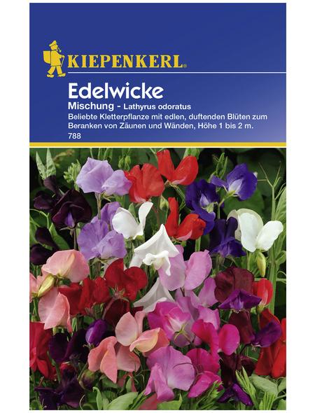 KIEPENKERL Edelwicke, Lathyrus odoratus, Samen, Blüte: mehrfarbig