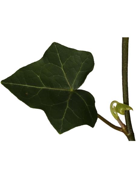 GARTENKRONE Efeu, Hedera helix, Blüten: