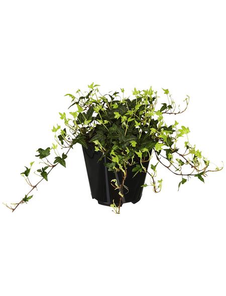 GARTENKRONE Efeu, Hedera helix »Green Ripple«, winterhart