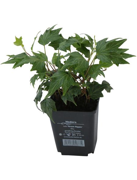 Efeu helix Hedera »Green Ripple«