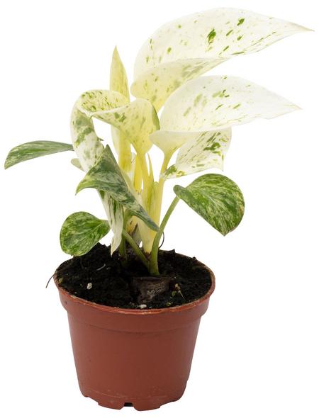 Efeutute, Epipremnum pinnatum, im Kunststoff-Kulturtopf