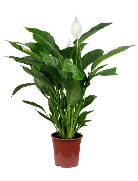 Einblatt, Spathiphyllum Lauretta »Lauretta«, im Kunststoff-Kulturtopf