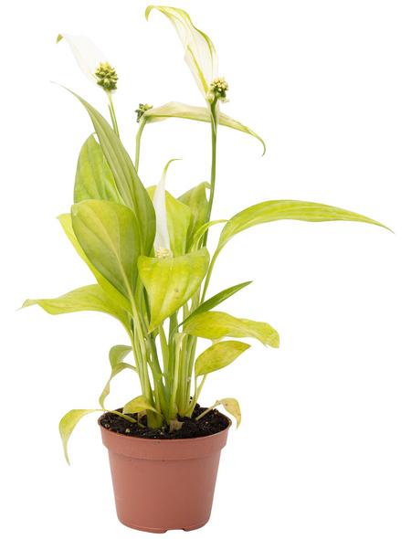 Einblatt, Spathiphyllum »Yess«, Blütenfarbe: weiß