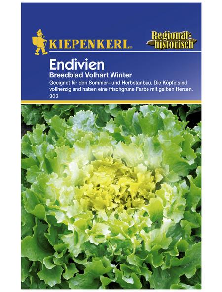 KIEPENKERL Endivie endivia Chicorium