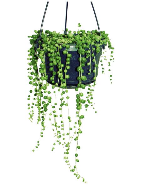 Erbsenpflanze Senecio rowleyanus