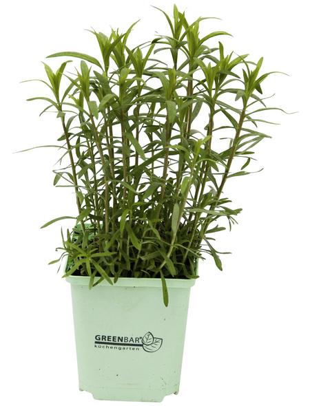 GREENBAR Estragon 3er Set, Artemisia Dracunculus, Blütenfarbe: gelb