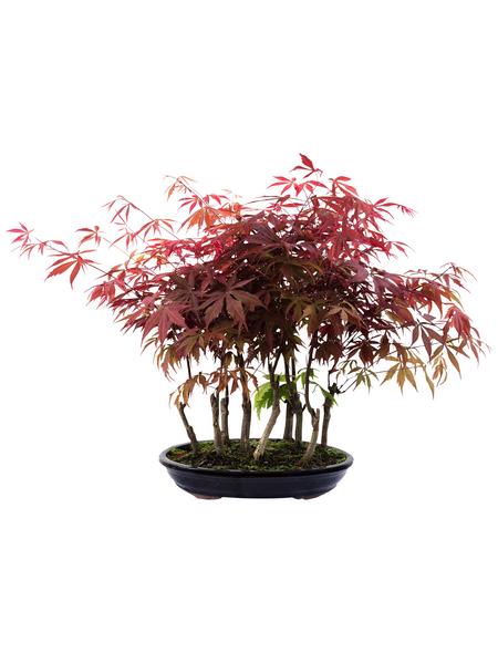 Fächerahorn, Acer palmatum »Atropurpureum«, Blütenfarbe rot