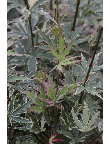 Fächerahorn, Acer palmatum »Butterfly«, Blattfarbe mehrfarbig