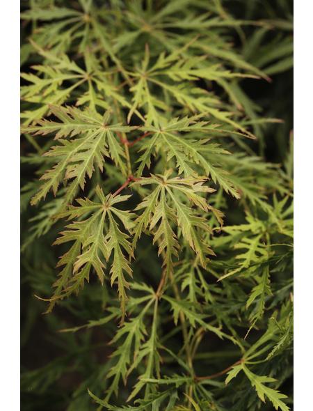 Fächerahorn, Acer palmatum »Dissectum«, Blattfarbe mehrfarbig