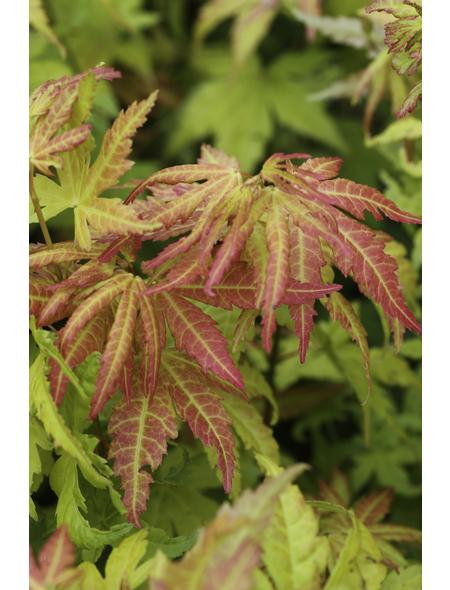 Fächerahorn, Acer palmatum »orange dream«, Blattfarbe mehrfarbig