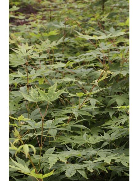 Fächerahorn, Acer palmatum »Sangokaku«, Blattfarbe mehrfarbig