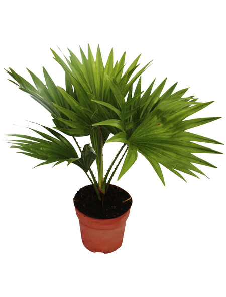 Fächerpalme Livistona rotundifolia