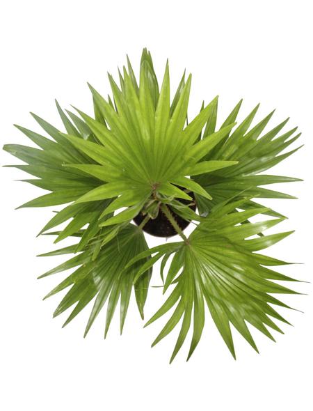 Fächerpalme, rotundifolia Livistona, Topf-Ø: 12cm