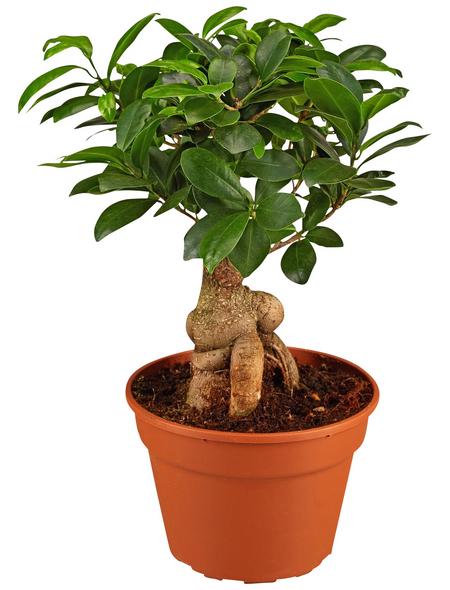 GARTENKRONE Feigen-Bonsai, Ficus microcarpa »Ginseng«, im Kunststoff-Kulturtopf