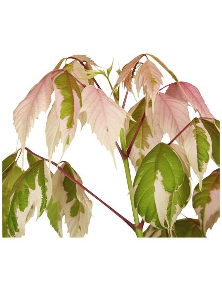 GARTENKRONE Flamingoahorn, Acer negundo »Flamingo«, winterhart