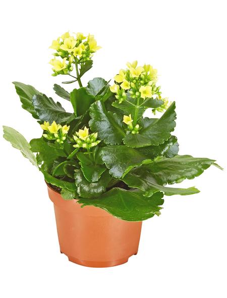 GARTENKRONE Flammendes Käthchen, Kalanchoe blossfeldiana, Blüte: gelb