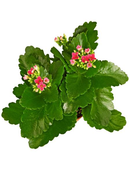 GARTENKRONE Flammendes Käthchen, Kalanchoe blossfeldiana, Blüte: rosa/pink