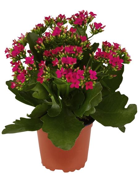 GARTENKRONE Flammendes Käthchen, Kalanchoe blossfeldiana, Blüte: violett