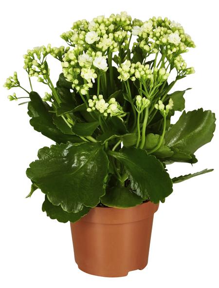 GARTENKRONE Flammendes Käthchen, Kalanchoe blossfeldiana, Blüte: weiß
