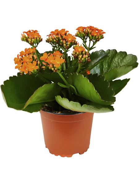 GARTENKRONE Flammendes Käthchen Kalanchoe blossfeldiana orange
