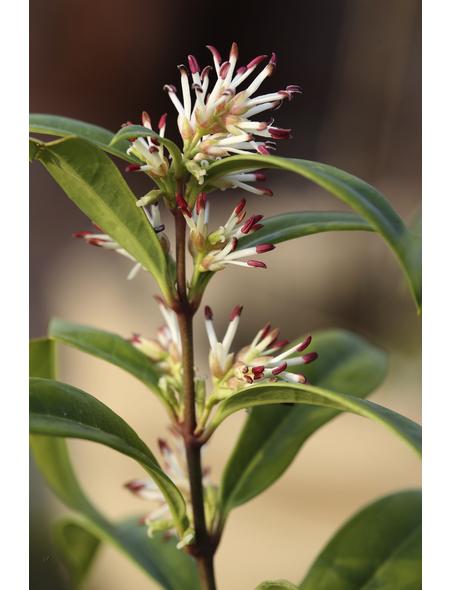 Fleischbeere, Sarcococca humilis »Winter Gem«, Blütenfarbe weiß