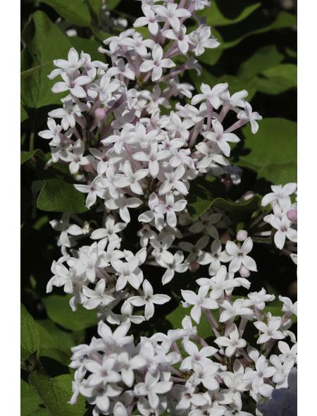 Flieder, Syringa »Flowerfest White«, Blütenfarbe weiß