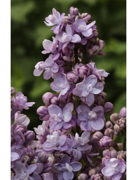 Flieder, Syringa vulgaris »Michel Buchner«, Blütenfarbe lila