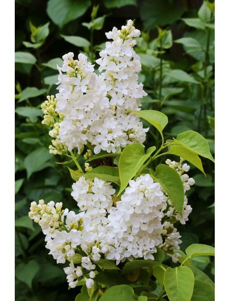 Flieder, Syringa vulgaris »Mme. Florent Stepman«, weiß, Höhe: 40 - 60 cm