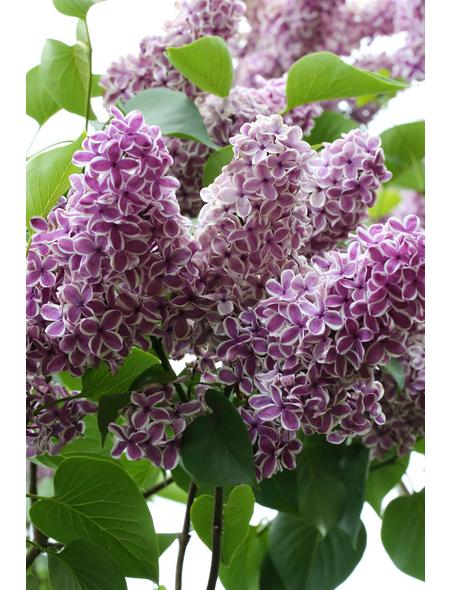 Flieder, Syringa vulgaris »Sensation«, Blütenfarbe lila