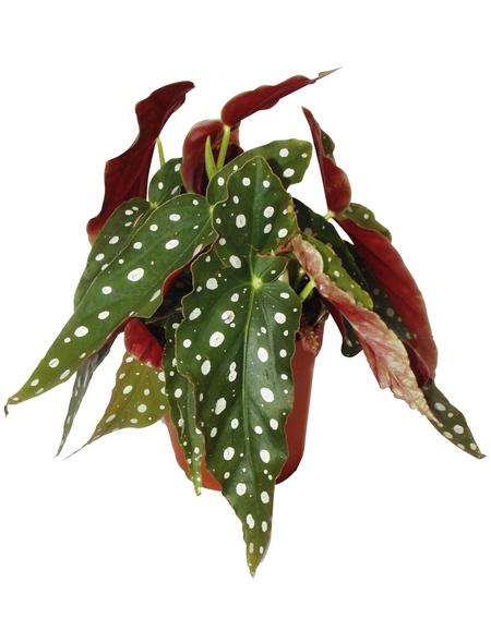 EXOTENHERZ Forellenbegonie, Begonia maculata, Blütenfarbe: weiß