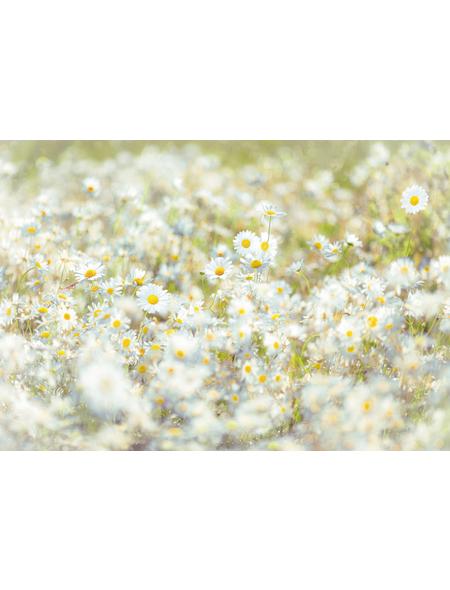 KOMAR Foto-Papiertapete »Daisies«, Breite 368 cm, inkl. Kleister