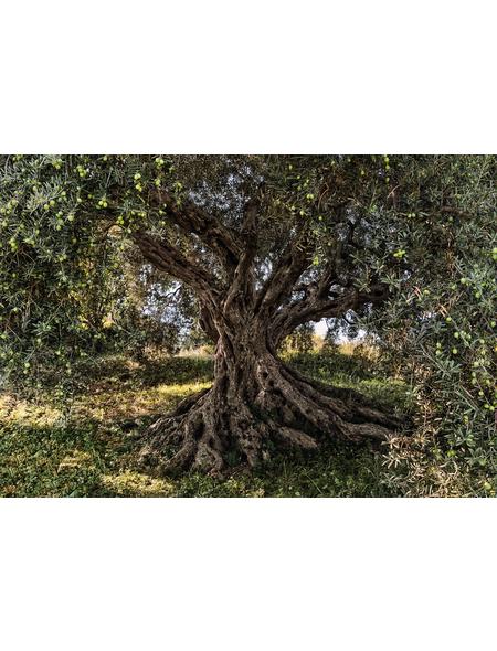KOMAR Foto-Papiertapete »Olive Tree«, Breite 368 cm, inkl. Kleister