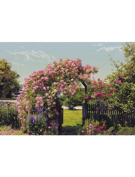 KOMAR Foto-Papiertapete »Rose Garden«, Breite 368 cm, inkl. Kleister