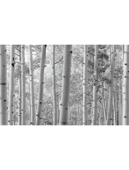 KOMAR Foto-Vliestapete »Espenwald«, Breite 450 cm, seidenmatt