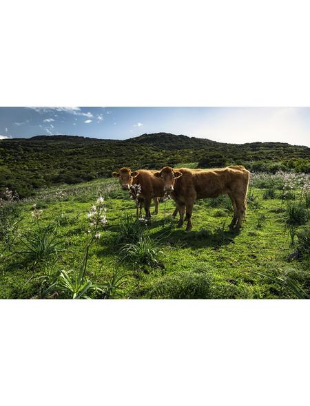 KOMAR Foto-Vliestapete »Kuhparadies«, Breite 450 cm, seidenmatt