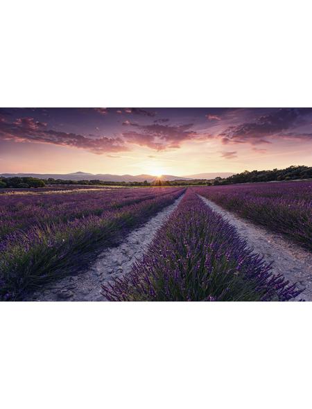KOMAR Foto-Vliestapete »Lavender Dream«, Breite 450 cm, seidenmatt