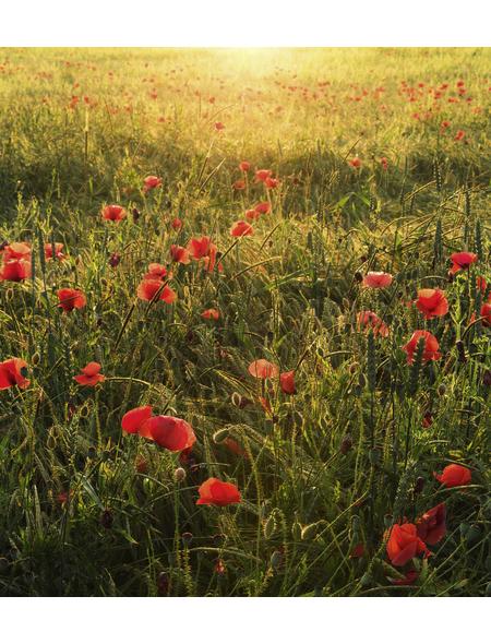 KOMAR Foto-Vliestapete »Poppy World«, Breite 250 cm, seidenmatt