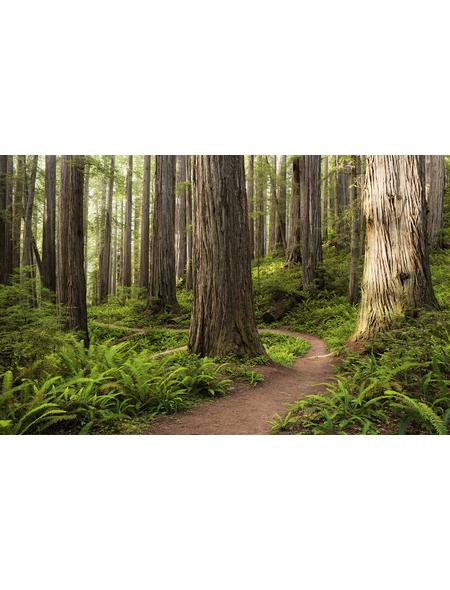KOMAR Foto-Vliestapete »Redwood Trail«, Breite 450 cm, seidenmatt