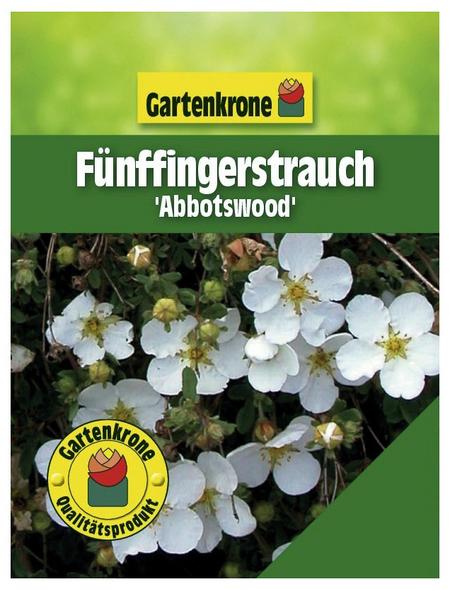 GARTENKRONE Fünffingerstrauch, Potentilla fruticosa »Abbotswood«, weiß, winterhart