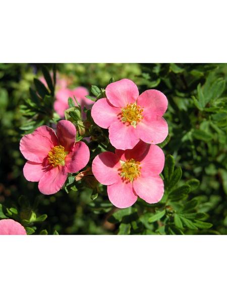 GARTENKRONE Fünffingerstrauch, Potentilla fruticosa »Lovely Pink «, rosa/pink, winterhart