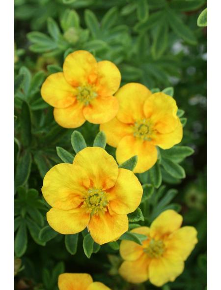 GARTENKRONE Fünffingerstrauch, Potentilla fruticosa »Mango Tango «, gelb, winterhart