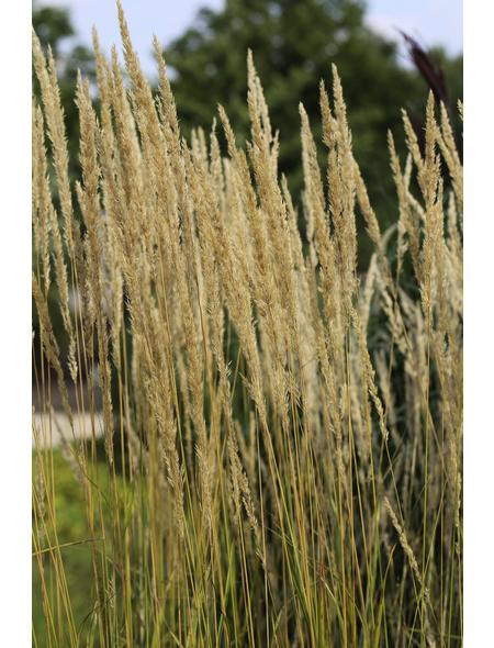 Garten-Reitgras acutiflora Calamagrostis »Karl Foerster«