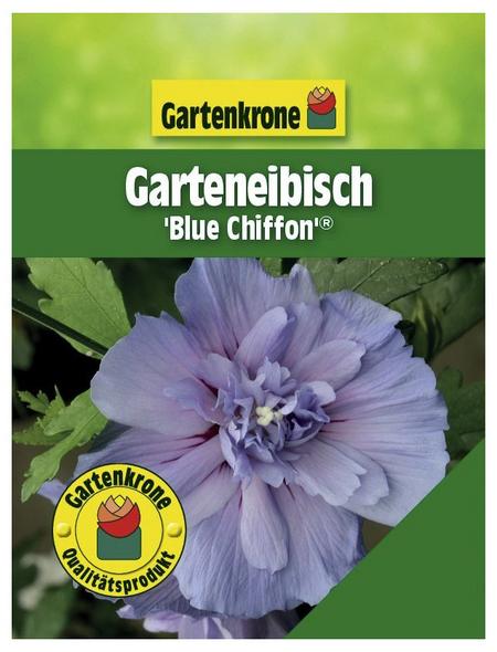 GARTENKRONE Garteneibisch, Hibiscus syriacus »Blue Chiffon «, hellblau, winterhart
