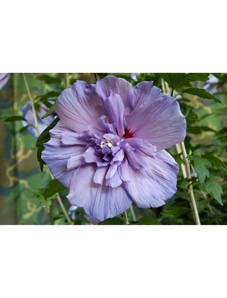 GARTENKRONE Garteneibisch Hibiscus syriacus »Blue Chiffon -R-«