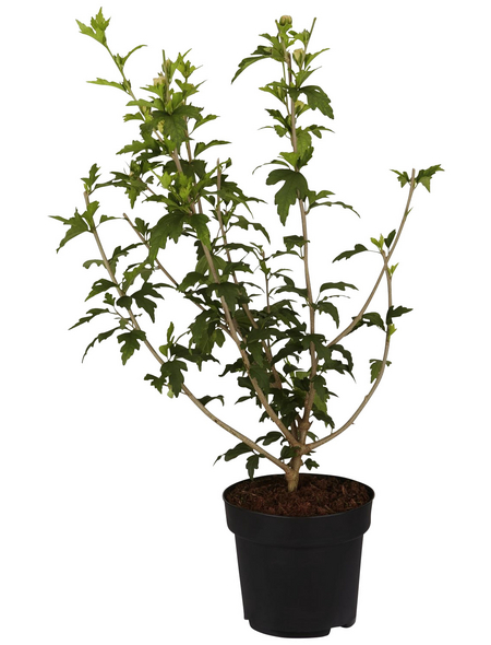 GARTENKRONE Garteneibisch, Hibiscus syriacus »China Chiffon «, hellrosa, winterhart